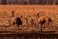 Emus i a paddock - Photo Courtesy Andrew Dixon Photography